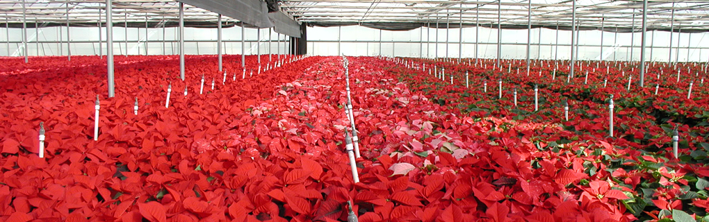 Milgro Nursery's greenhouses (poinsettias), Newcastle, Utah.